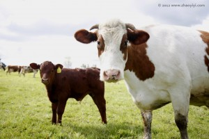 The sacred cow - cow and calf